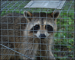 Sterling wildlife trapping